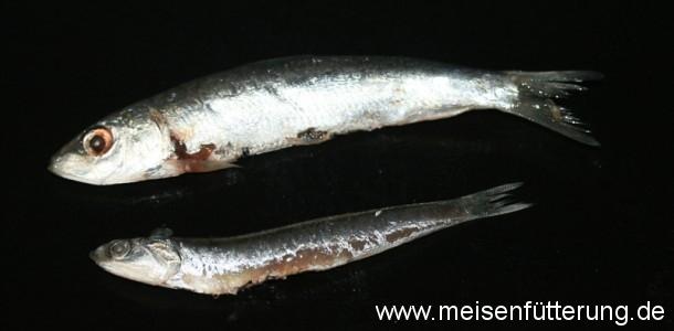 sardinen-2