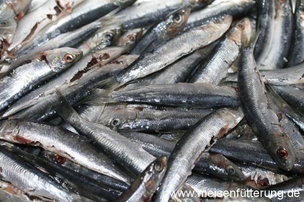 sardinen-3 (1)